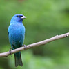 Indigo Bunting @ Hocking Co. - May 2012