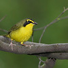 Kentucky Warbler @ Huddleville - May 2012