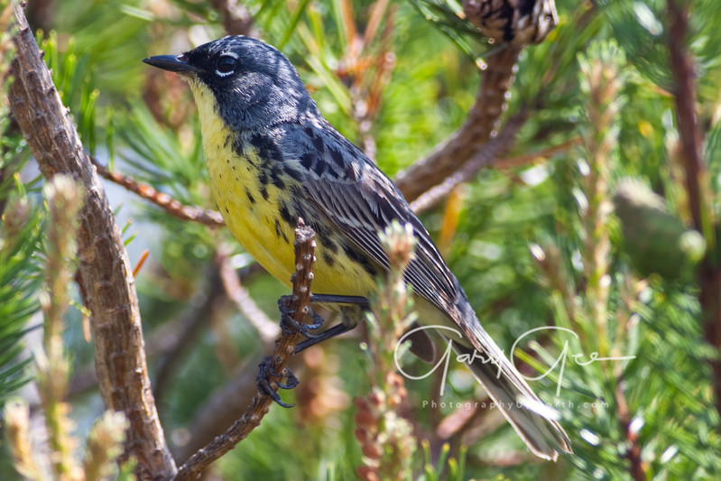Kirtland's Warbler close-up on Jack pine branch