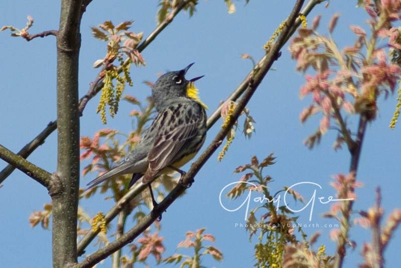 Kirtland's Warbler Singing May 2011