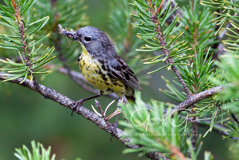 Kirtland's Warbler with small wasp.