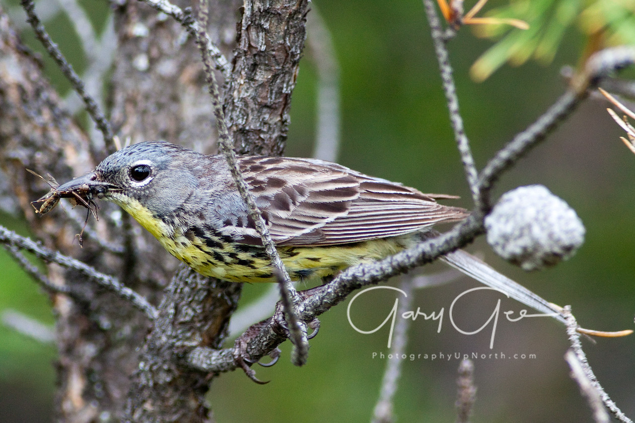 The Endangered Kirtland's Warbler with a wasp pausing before entering the nest.