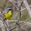 Kirtland's Warbler - Presque Isle County, MI, May 2016