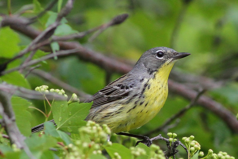 Kirtland's Warbler @ Highbanks MP - May 2015