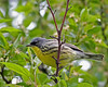 Kirtland's Warbler @ Kennear Rd, Columbus - May 2011