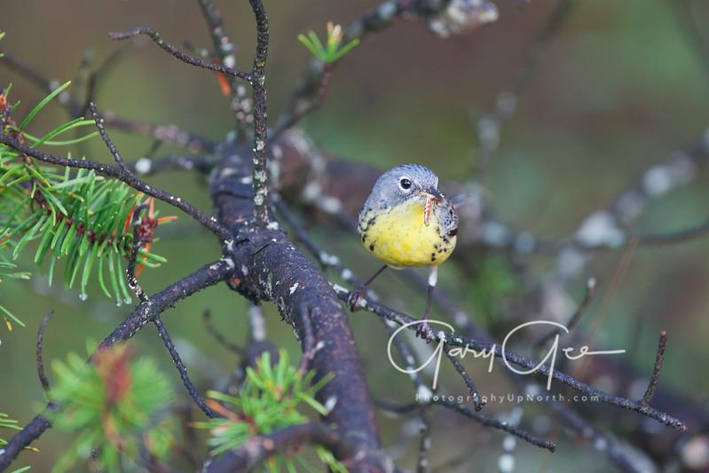 Kirtland's Warbler Female