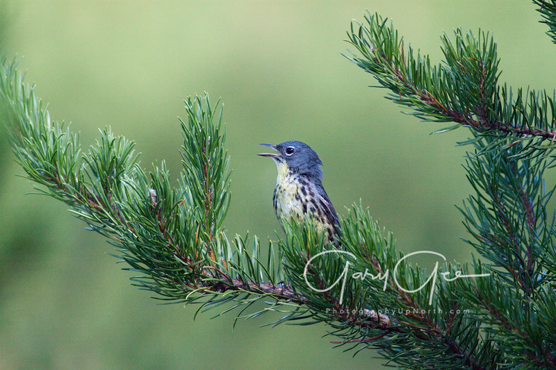 Kirtland's Warbler signing from branch about 10 feet up.