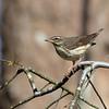 Louisianna Waterthrush (Warbler) @ Scioto County - April 2018