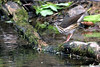 Louisiana Waterthrush @ Huddleland (Hocking Hills) OH - May 2010