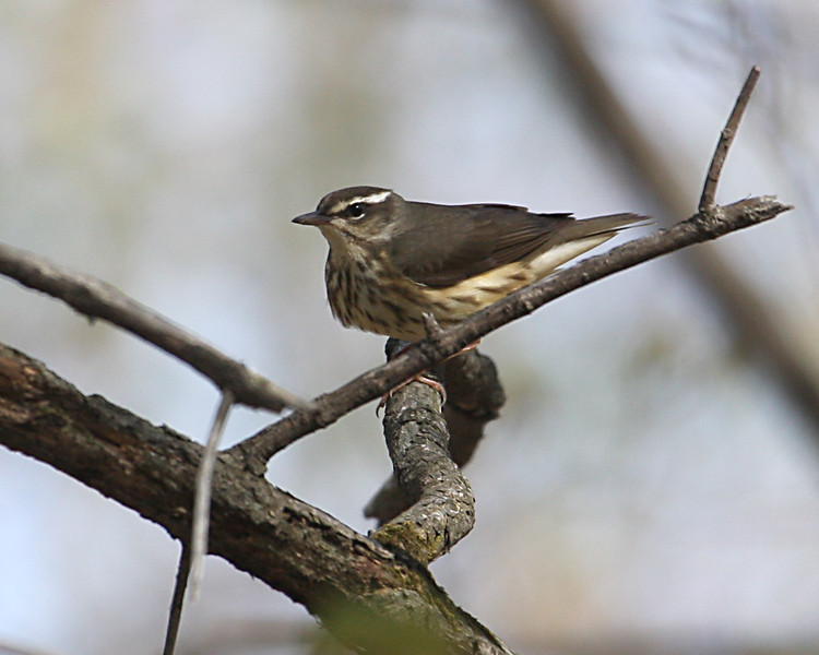 Louisiana Waterthrush @ Highbanks MP - April 2010