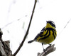 Magnolia Warbler @ Magee Marsh WA - May 2010