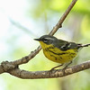Magnolia Warbler @ Magee Marsh - May 2014