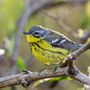 Magnolia Warbler @ Magee Marsh SP, OH - May 2016