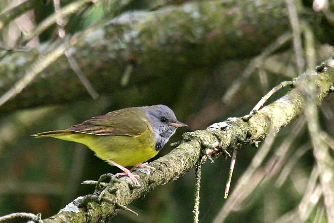 Mourning Warbler in my Backyard - May, 2005