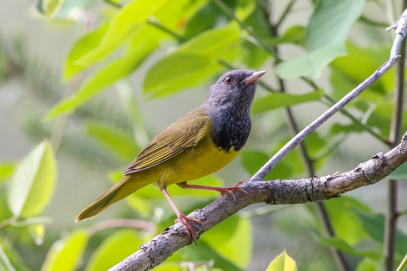 Mourning Warbler - Presque Isle County, MI, May 2016