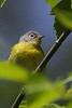 Nashville Warbler @ Magee Marsh - May 2008