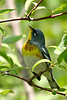 Northern Parula @ Magee Marsh - May 2007