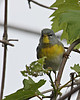 Northern Parula @ Magee Marsh WA - May 2010