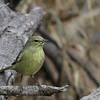 Orange-crown Warbler @ Salineno, TX - Feb 2014