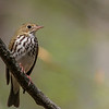 Ovenbird @ Hocking Co - May 2015
