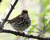 Ovenbird @ Magee Marsh WA - May 2010