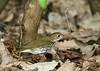 Ovenbird @ Magee Marsh - May 2007