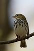 Ovenbird (Warbler)
