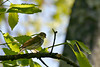 Ovenbird - Shawnee State Forest, May 2005