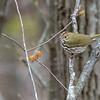Ovenbird (Warbler) @ Scioto County - April 2018