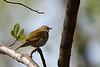 Ovenbird @ Clear Creek Metro Park - April 2008