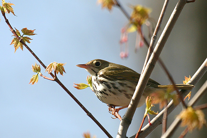 Ovenbird @ Shawnee State Forest - April 2006