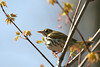 Ovenbird @ Shawnee State Forest - April 2006