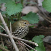 Ovenbird @ Magee Marsh - May 2014