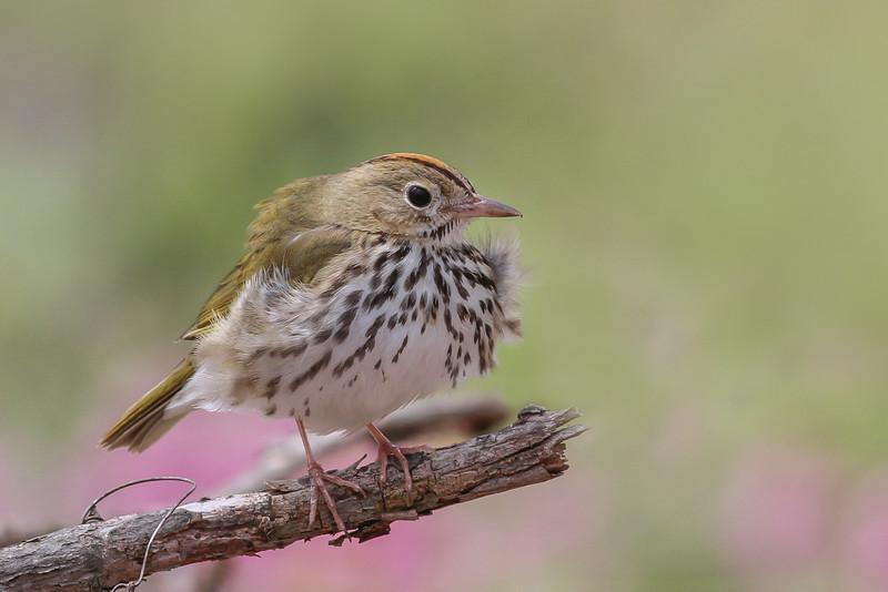Ovenbird @ Shawnee SP - April 2015