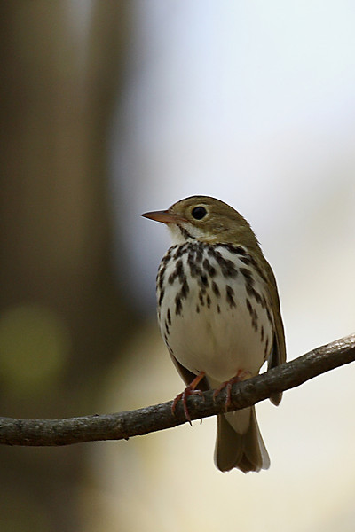 Ovenbird @ Clear Creek Metro Park - April 2008