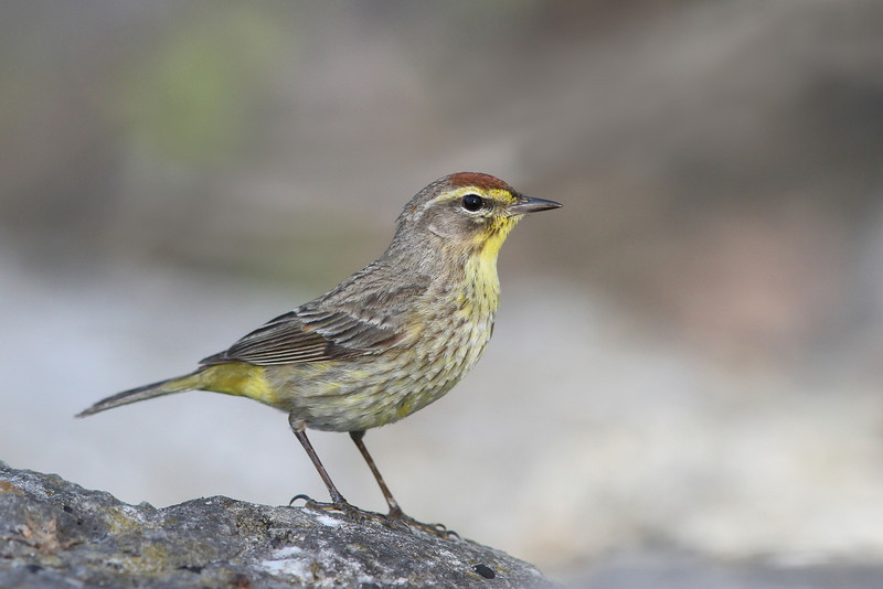 Palm Warbler @ Magee - May 2014