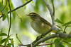 Palm Warbler @ Magee Marsh - May 2006