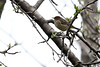 5-17-14 Palm Warbler 2