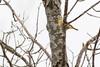 5-16-14 Palm Warbler 7