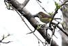 5-17-14 Palm Warbler 1
