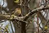 5-16-14 Palm Warbler 1