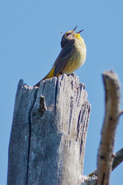 Palm Warbler singing his lungs out!