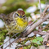 Palm  Warbler @ Magee Marsh SP, May 2016