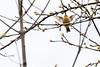 5-16-14 Palm Warbler 4