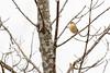 5-16-14 Palm Warbler 8