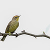 Palm Warbler @ Slate Run MP, OH - May 2016