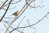 5-16-14 Palm Warbler 6