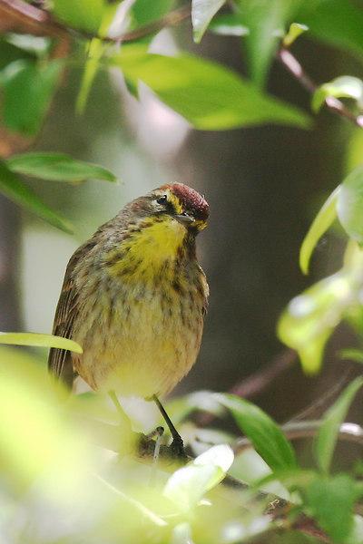 Palm Warbler @ Magee Marsh - May 2006