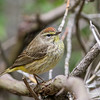 Palm Warbler @ Magee Marsh WA - May 2016