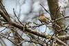 5-16-14 Palm Warbler 2